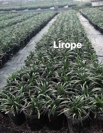Lirope